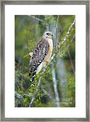 Red-shouldered Hawk Framed Print by Anthony Mercieca