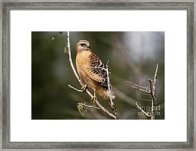 Red-shouldered Hawk Framed Print by Art Wolfe