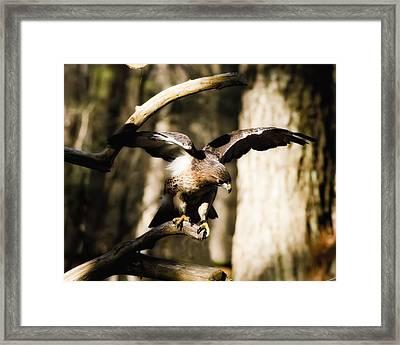Red Shouldered Hawk Framed Print by B Wayne Mullins