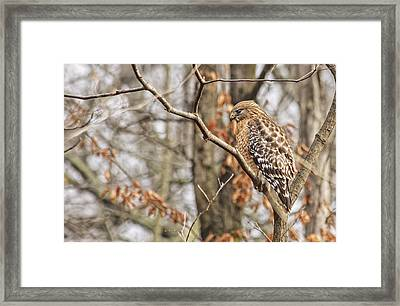 Red-shouldered Hawk By The C And O Canal Framed Print by Francis Sullivan