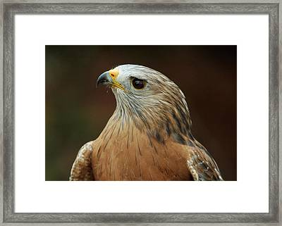 Framed Print featuring the photograph Red-shouldered Hawk by Doug Herr