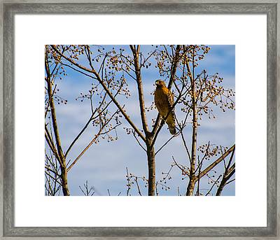 Red Shouldered Hawk In A Cherry Tree Framed Print by Chris Flees
