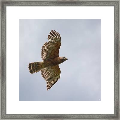 Red Shouldered Hawk In Flight - 06.11.2014 Framed Print by Jai Johnson