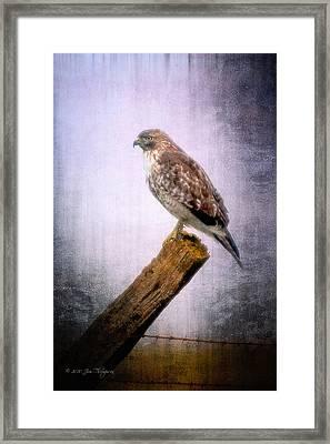 Red Shouldered Hawk Framed Print by Jim Thompson