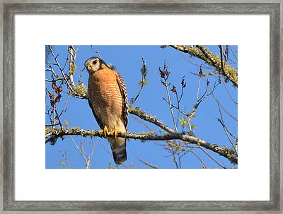 Red Shouldered Hawk Framed Print by Jodi Terracina