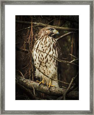 Red Shouldered Hawk Framed Print by Karen Wiles