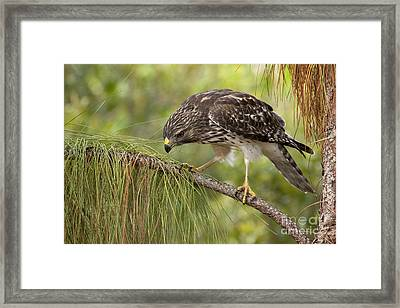 Red Shouldered Hawk Photo Framed Print