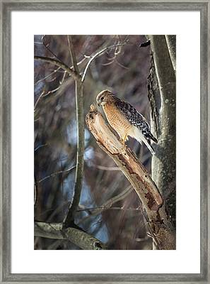 Red Shouldered Hawk Portrait Framed Print by Bill Wakeley