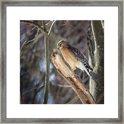 Red-shouldered Hawk Portrait Square Framed Print by Bill Wakeley