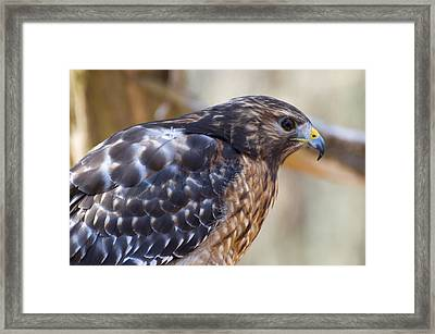 Red Shouldered Hawk Profile Framed Print by Chris Flees