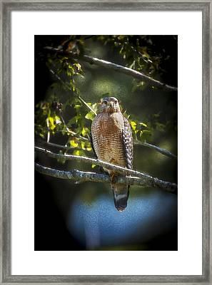 Red Shouldered Hawk Framed Print by Rich Franco