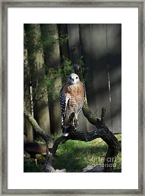 Red Shouldered-hawk Framed Print by Robert Meanor