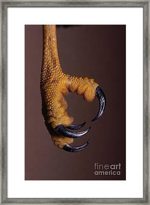 Red-shouldered Hawk Talons Framed Print by Jim Zipp