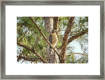 Framed Print featuring the photograph Red-shouldered Hawk by Zoe Ferrie