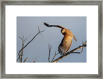 Red Shoulered Hawk In Flight Framed Print by Bill Wakeley
