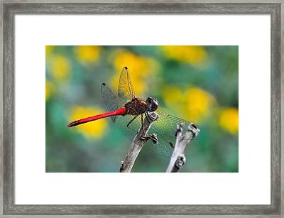 Red Skimmer Framed Print