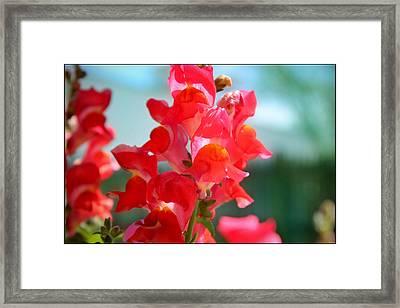 Red Snapdragons I Framed Print by Aya Murrells
