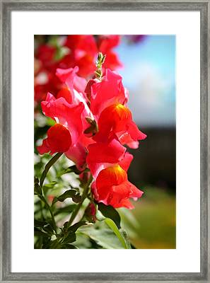 Red Snapdragons II Framed Print by Aya Murrells