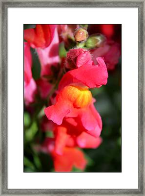 Red Snapdragons IIi Framed Print by Aya Murrells