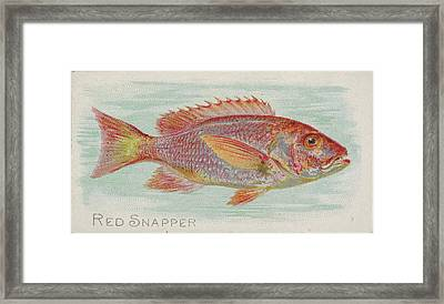 Red Snapper, From The Fish Framed Print