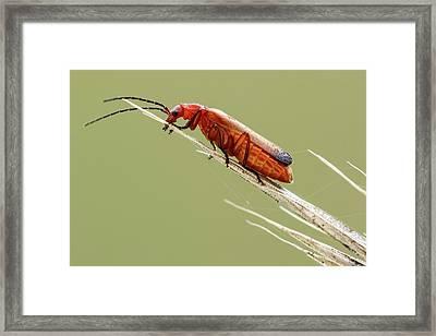 Red Soldier Beetle Framed Print