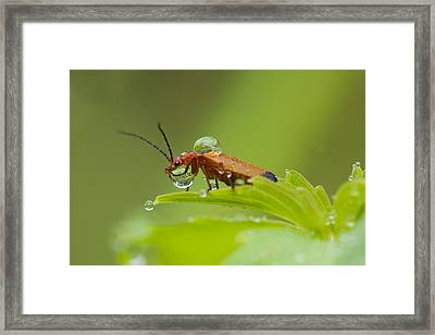 Red Soldier Beetle Framed Print by Mircea Costina Photography