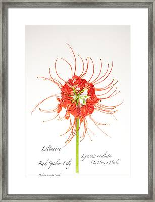 Red Spider-lily Framed Print