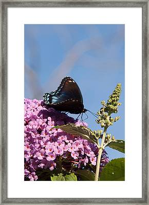 Red-spotted Purple Butterfly Framed Print by Jeff Folger