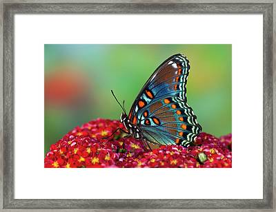 Red-spotted Purple Butterfly, Limenitis Framed Print by Darrell Gulin