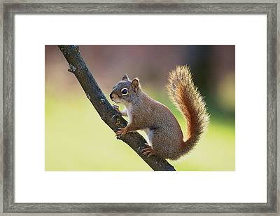Framed Print featuring the photograph Red Squirrel - Ecureuil Roux by Nature and Wildlife Photography