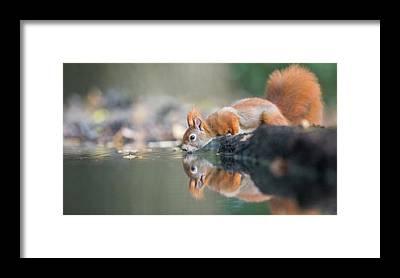 Red Squirrel Framed Prints