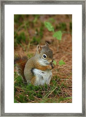 Red Squirrel In Acadia National Park Framed Print by Acadia Photography