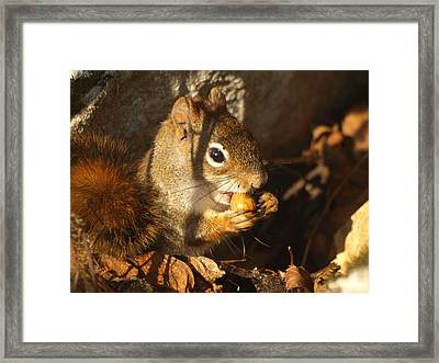 Red Squirrel Framed Print by James Peterson