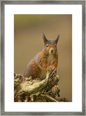 Framed Print featuring the photograph Red Squirrel by Paul Scoullar