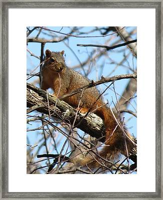 Red Squirrel  Framed Print by Rebecca Overton