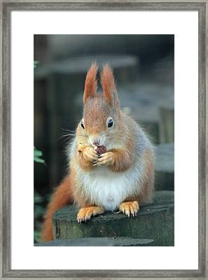 Red Squirrel With A Nut Framed Print by Martyn Bennett