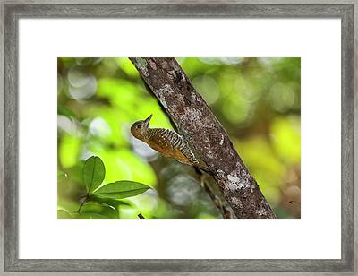 Red-stained Woodpecker Veniliornis Framed Print