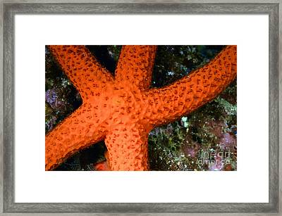 Red Starfish Echinaster Sepositus On A Rock Framed Print