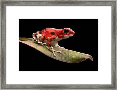 Red Strawberry Poison Dart Frog Framed Print