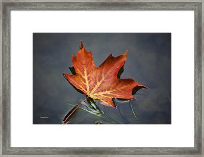 Red Sugar Maple Leaf Framed Print by Christina Rollo