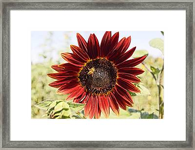 Red Sunflower And Bee Framed Print