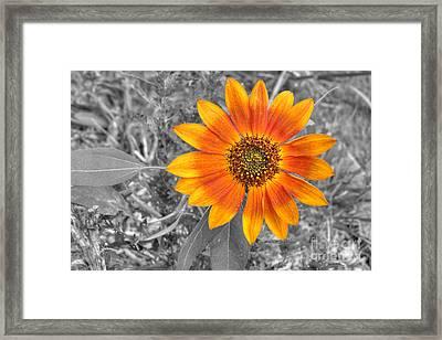 Red Sunflower Framed Print by Deborah Smolinske