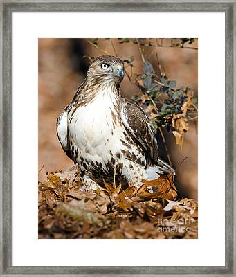Red Tail Daze Framed Print