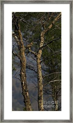 Red-tail Hawk   #0596 Framed Print by J L Woody Wooden