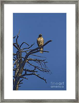 Red-tail Hawk   #0622 Framed Print by J L Woody Wooden