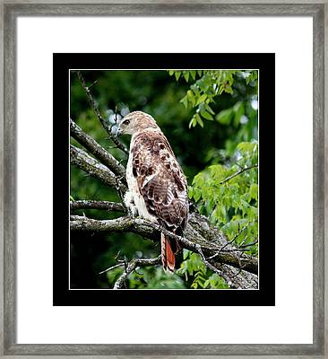 Red Tail Hawk 1 Framed Print by Rosanne Jordan