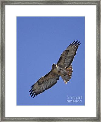 Red-tail Hawk  #1853 Framed Print by J L Woody Wooden