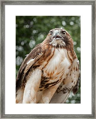 Red Tail Hawk Framed Print by Bill Wakeley