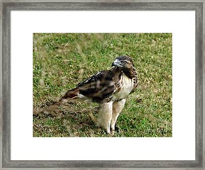 Red Tail Hawk Framed Print by Christy Ricafrente