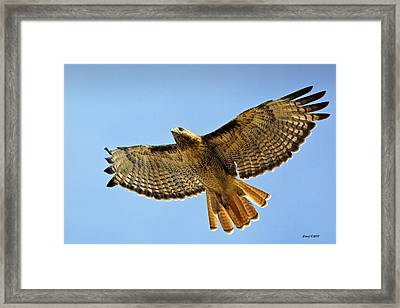 Red Tail Hawk Circling Above Framed Print by Stephen  Johnson